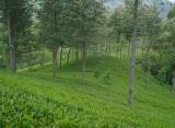 Čajové plantáže, Srí Lanka