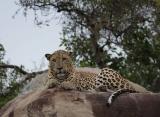 Zájazdy Srí Lanka - leopard v Yala