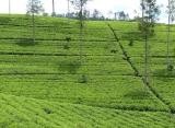 čajová plantáž, Srí Lanka