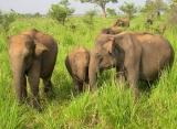 Slony v národnom parku Minneriya - Srí Lanka