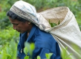 Zberačka čaju, Srí Lanka