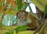 Zájazdy Srí Lanka - opice