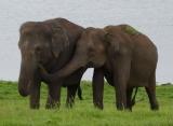 Zájazdy Srí Lanka - Slony v NP Minneriya