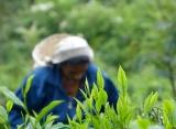 Zájazdy Srí Lanka - čajové lístky