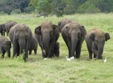 Slony v NP Minneriya, Srí Lanka