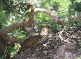 Leopard, národný park Willpathu, Srí Lanka