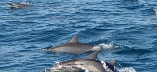 Delfíni, Srí Lanka