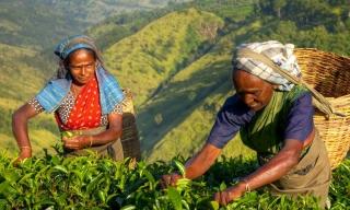 Zájazdy Srí Lanka - zberačky čaju