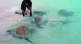 Kŕmenie rají na Maledivách