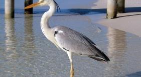 Maledivy - vták